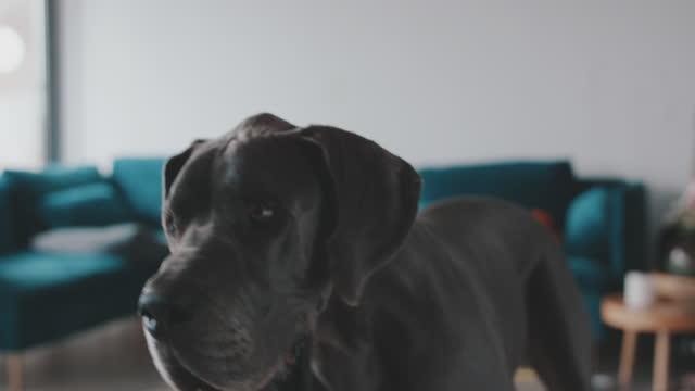 vidéos et rushes de slow motion shot of great dane dog looking around at home - être debout