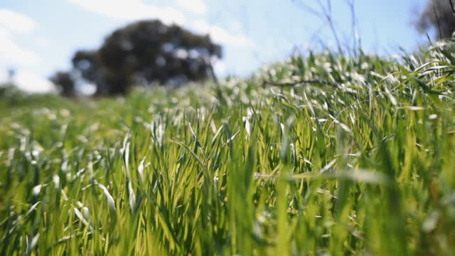 slow motion shot of green grass field on a sunny day with a blurred tree in the background. - sunny video stock e b–roll