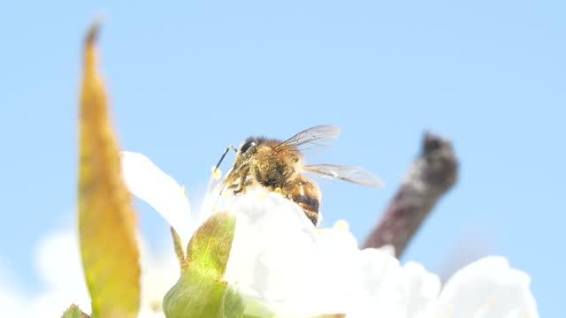 stockvideo's en b-roll-footage met langzaam motieschot van honingsbij die stuifmeel van kersenboom opneemt - hd format