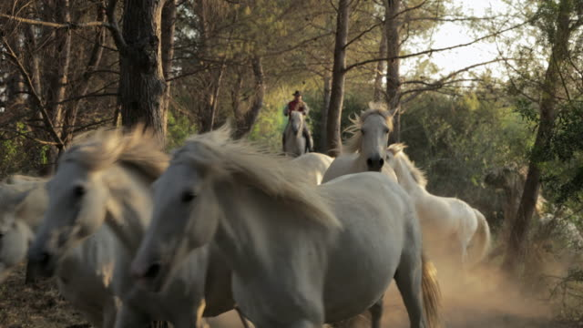 slow motion shot of horses running ahead of wrangler amidst trees - camargue, france - cavalry stock videos & royalty-free footage