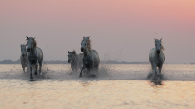 slow motion shot of horses splashing while running in river against sky - camargue, france - horse stock videos & royalty-free footage