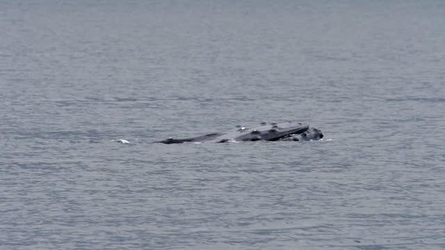 vídeos y material grabado en eventos de stock de slow motion shot of humpback whale swimming in ocean on sunny day - british columbia, canada - cetáceo