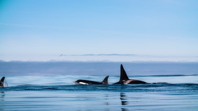 Slow motion shot of killer whales with a orca calf