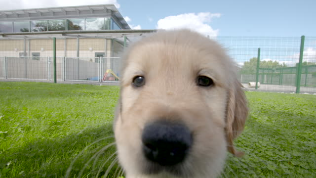 slow motion shot of labrador puppies playing in the grounds of the national guide dogs for the blind centre. - puppy stock videos & royalty-free footage