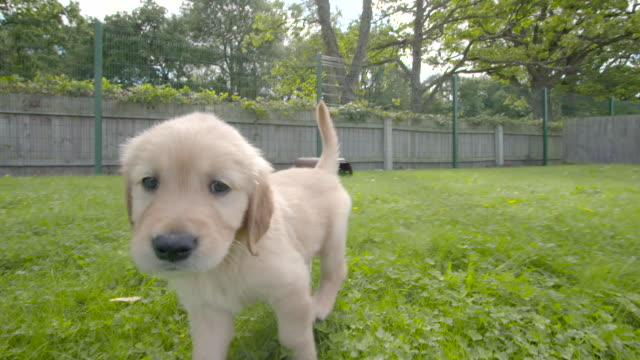 vidéos et rushes de slow motion shot of labrador puppies playing in the grounds of the national guide dogs for the blind centre. - jeune animal
