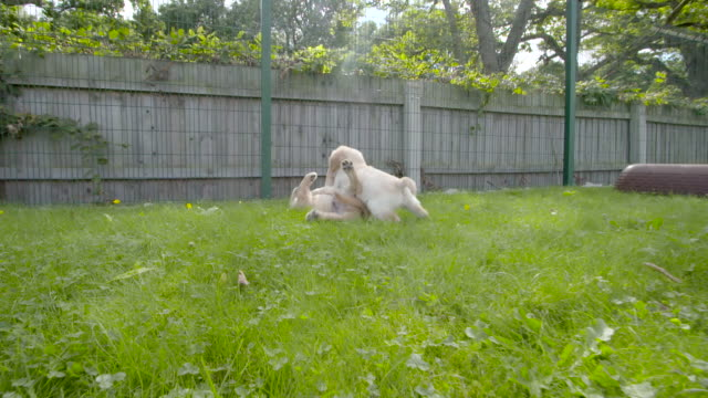 Slow motion shot of Labrador puppies playing in the grounds of the National Guide Dogs for the Blind training centre.