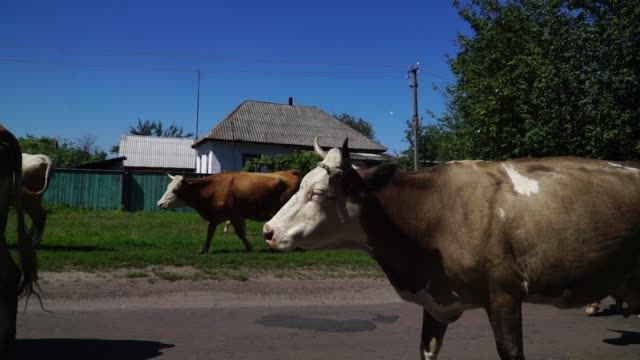 Slow motion shot of local farmers herd their cows down a road near Chernihiv Ukraine on Thursday Aug 10 2017