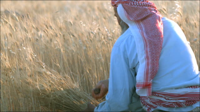 Slow motion shot of man using a sickle to harvest wheat sheaves.