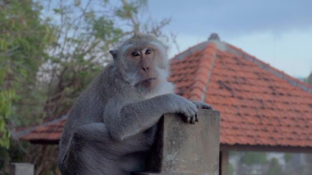 slow motion shot of monkey sitting against gazebo, mammal on concrete at park - ubud, bali - gazebo stock videos & royalty-free footage