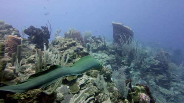 slow motion shot of moray eel swimming over corals, fish on ocean floor - great blue hole, belize - meeraal stock-videos und b-roll-filmmaterial