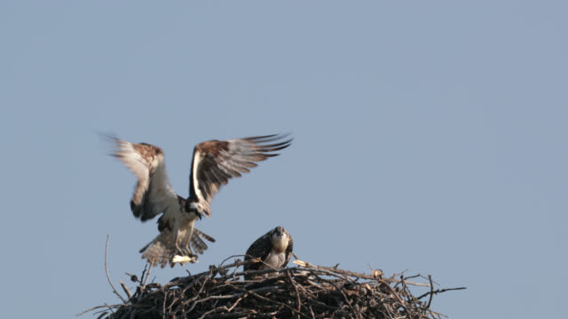 ms  4k  slow motion shot of osprey ( pandion haliaetus) parents with tiny chicks bringing fish to the nest - bird's nest stock videos and b-roll footage