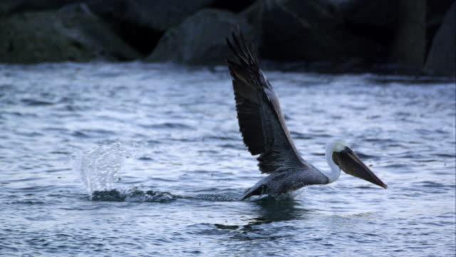 stockvideo's en b-roll-footage met slow motion shot of pelican in flight then diving into the water after a fish. - pelikaan