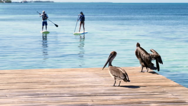 slow motion shot of pelicans at pier with people paddle boarding on sea in background - belize city, belize - pier stock videos & royalty-free footage