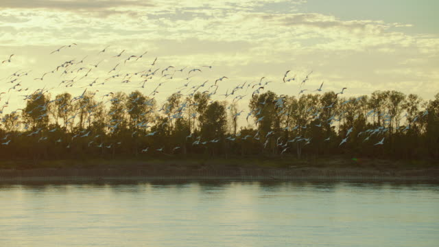 slow motion shot of pelicans flying in late evening - pelican stock videos & royalty-free footage