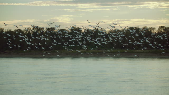 Slow Motion Shot Of Pelicans In Flight