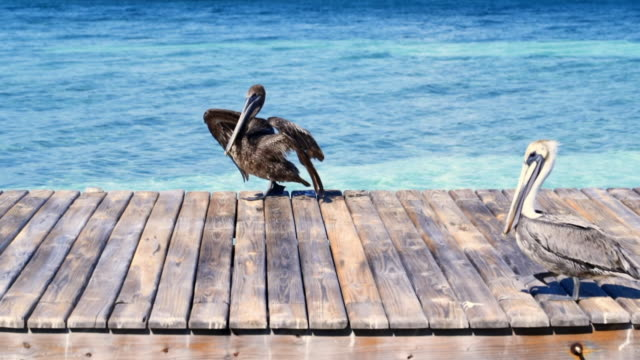 slow motion shot of pelicans walking on pier over sea, birds on wood during sunny day - belize city, belize - pelikan stock-videos und b-roll-filmmaterial