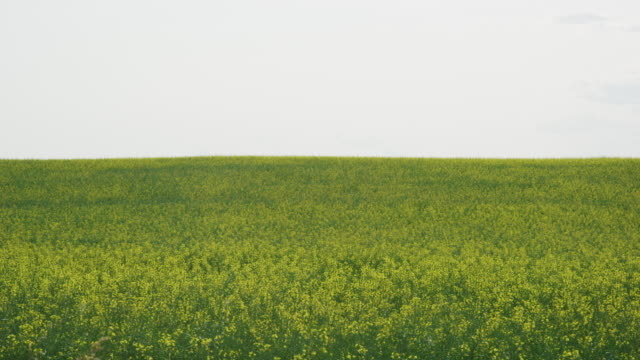 vídeos de stock e filmes b-roll de slow motion shot of rape (canola) plants waving gently in an agricultural field on a partly cloudy day in alberta, canada - caule de planta