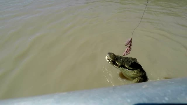slow motion shot of saltwater crocodile jumping to grab meat from tourist boat, australia - adelaide river stock videos & royalty-free footage