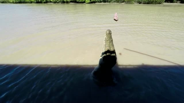 slow motion shot of saltwater crocodile jumping - adelaide river stock videos & royalty-free footage