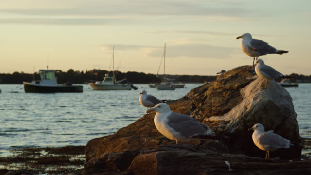slow motion shot of seagulls sitting on a rock near the seashore near portland, maine with boats in the background at sunset (atlantic ocean) - bay of water stock-videos und b-roll-filmmaterial
