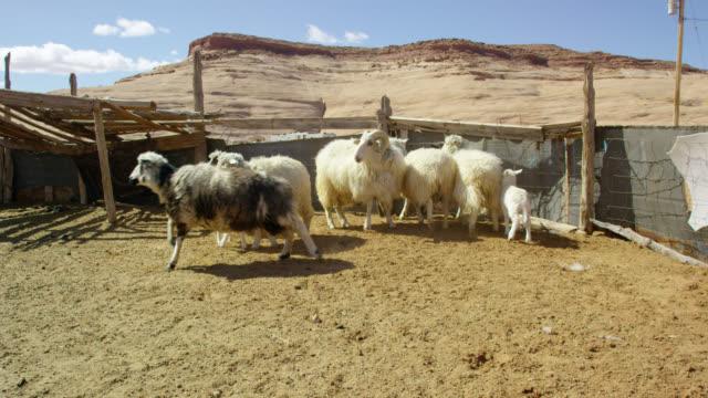 vídeos y material grabado en eventos de stock de disparo a cámara lenta de ovejas y corderos corriendo en un cercado en pasto en un día soleado en monument valley, arizona / utah con una gran formación de roca en el fondo - poste de madera