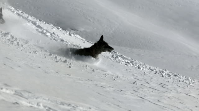 Slow motion shot of two dogs running down a snow covered mountain.