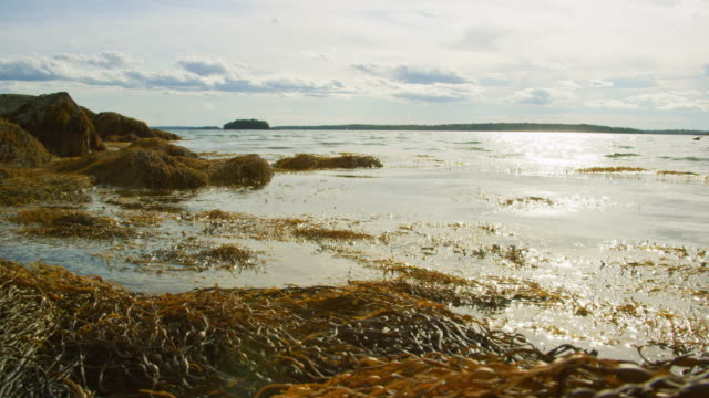 slow motion shot of waves and kelp gently lapping on a seashore near portland, maine (atlantic ocean) an einem sonnigen tag - meeresalge stock-videos und b-roll-filmmaterial