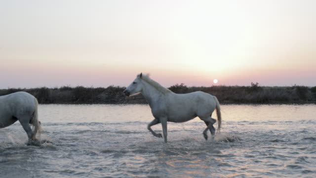 slow motion shot of white horse strolling in river against sky during sunset - camargue, france - cavalry stock videos & royalty-free footage
