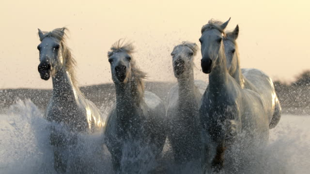 slow motion shot of white horses running while splashing water in sea during sunset - camargue, france - small group of animals stock videos & royalty-free footage