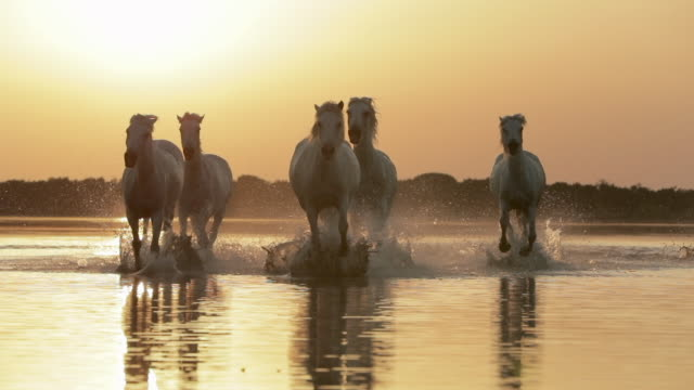 slow motion shot of white horses splashing water against orange sky during sunset - camargue, france - cavalry stock videos & royalty-free footage