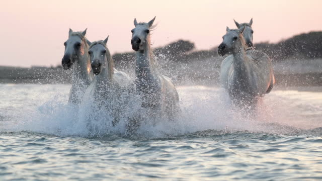 slow motion shot of white horses splashing water while running in sea against sky during sunset - camargue, france - cavalry stock videos & royalty-free footage