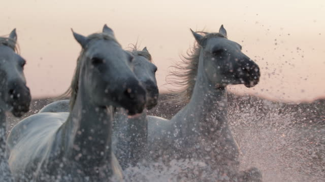 vidéos et rushes de slow motion shot of white horses splashing water while running against sky during sunset - camargue, france - enjoyment