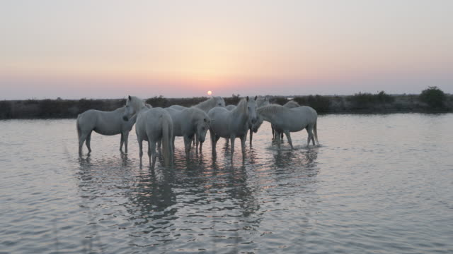 slow motion shot of white horses standing in river against sky at sunset - camargue, france - cavalry stock videos & royalty-free footage