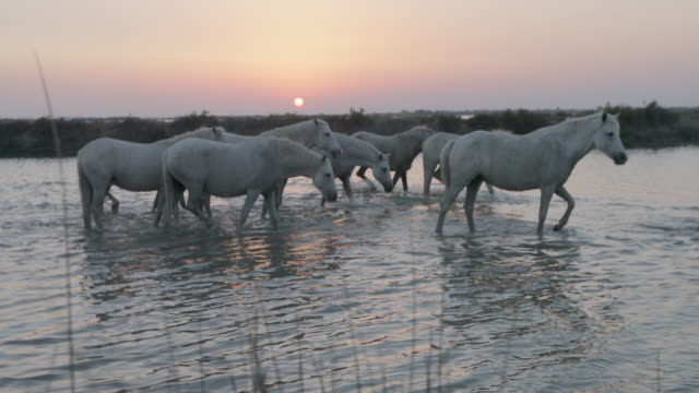 slow motion shot of white horses wading in river against sky at sunset - camargue, france - cavalry stock videos & royalty-free footage