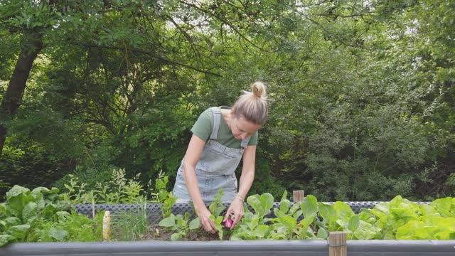 vidéos et rushes de slow motion shot of woman harvesting radishes from raised bed - radis