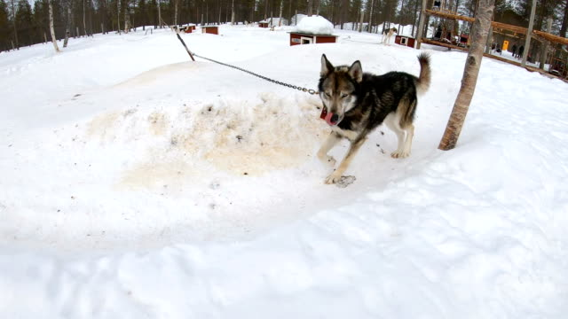 slow motion: siberian husky dog running in circle at dog sledding training camp in norway - malamute stock videos and b-roll footage