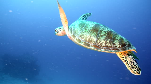 slow motion side angle close up following sea turtle through coral reef - reef stock videos & royalty-free footage