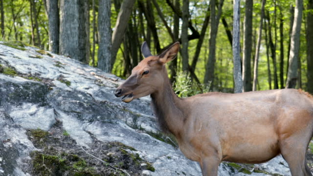 vidéos et rushes de slow motion: side view of a brown deer chewing and turning its head - tête composition