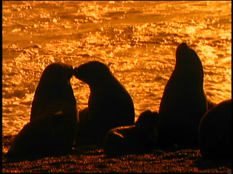 sepia slow motion silhouette 2 sea lions kissing / ocean + other sea lions in background - manipolazione di colore video stock e b–roll