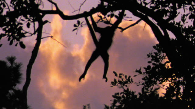 slow motion silhouette black spider monkey swinging from branch to branch on to tree / belize zoo - tail stock videos & royalty-free footage