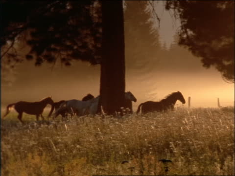 slow motion PAN silhouette of herd of horses running in woods / Montana