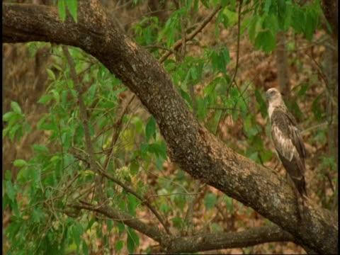 slow motion sird of prey taking off from tree, bandhavgarh national park, india - gespreizte flügel stock-videos und b-roll-filmmaterial