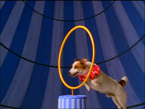 slow motion small dog in pink ruffled collar jumping through hoop - stunt stock videos & royalty-free footage