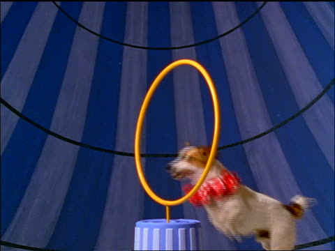 slow motion small dog in pink ruffled collar jumping through hoop - moving image stock videos & royalty-free footage