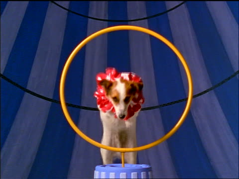 slow motion small dog in pink ruffled collar jumping through hoop towards camera