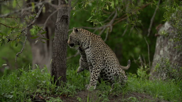slow motion small leopard cub rubs up against its mother on green termite mound, kruger national park, south africa - krüger nationalpark stock-videos und b-roll-filmmaterial