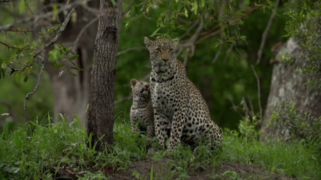 slow motion small leopard cub rubs up against its mother on green termite mound, kruger national park, south africa - 肉食哺乳動物の子点の映像素材/bロール