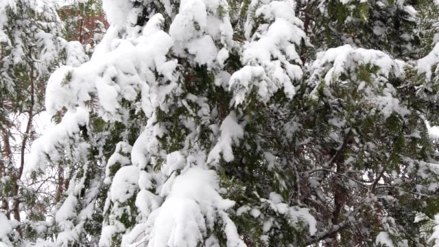 stockvideo's en b-roll-footage met slow motion sneeuw die van pijnbomen valt - hd format