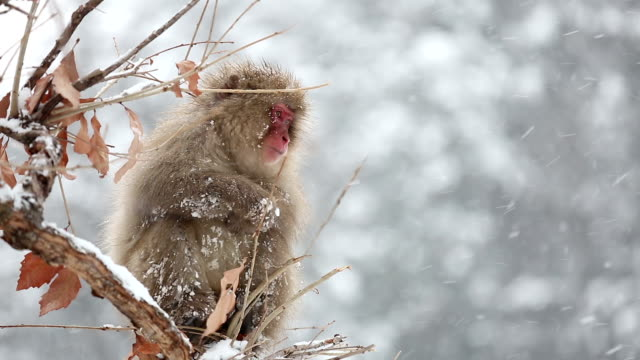 HD Slow Motion: Snow Monkey Japanese Macaque on tree eating