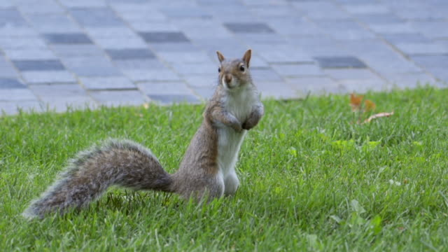 slow motion: squirrel standing on green grassy lawn with paving stones behind - 尾点の映像素材/bロール